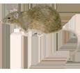 Imagen Rata gris