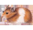 Imagen Hamster dorado